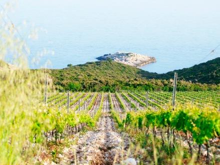 Korčulanske pjatance 2 vinograd Defora, Zure (photo by SZ)