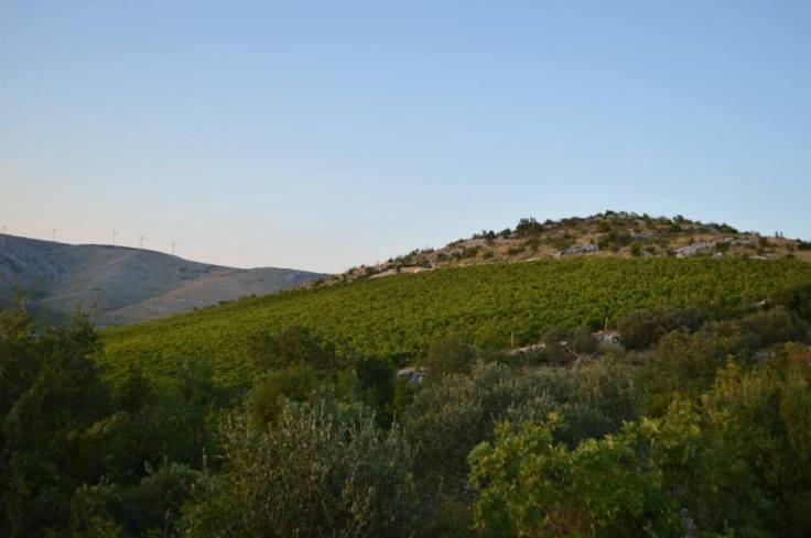Matosin vinograd 2