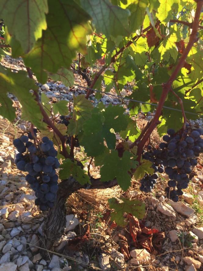 Matosin vinograd 3