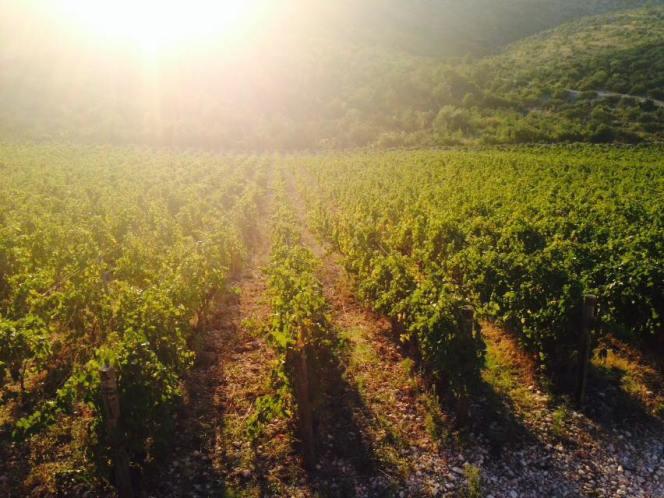 Matosin vinograd